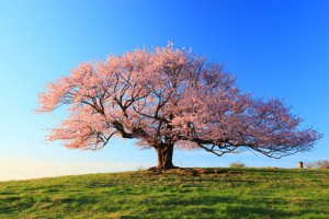 当店の先生は『桜』のようです。すぐ散るってことじゃないですよ(笑)